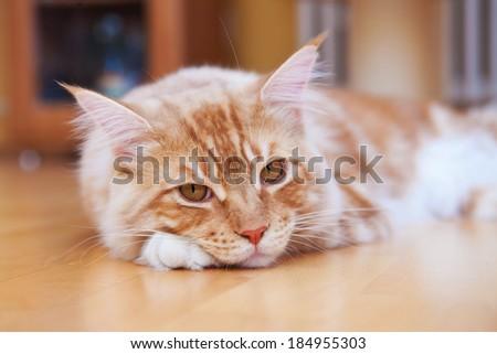 Red Maine Coon Kitten lying on the floor - stock photo
