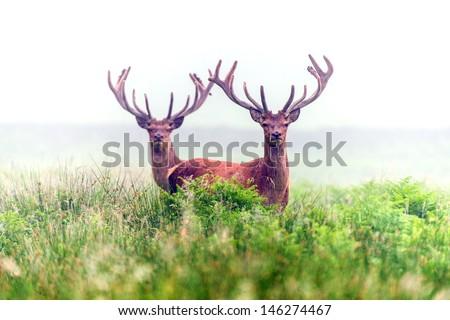 Red Male Deer in Waist High Bracken Wrapped in Morning Mist/Red Deer in Morning Mist/ Red Deer in Morning Mist - stock photo