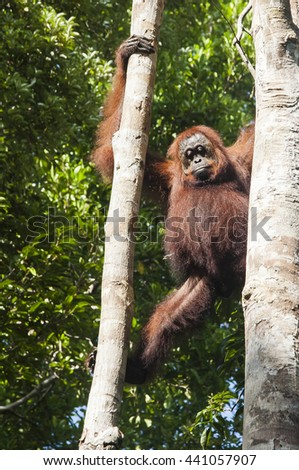 Red male orangutan in Tanjung Puting national park clinging to a tree  - stock photo