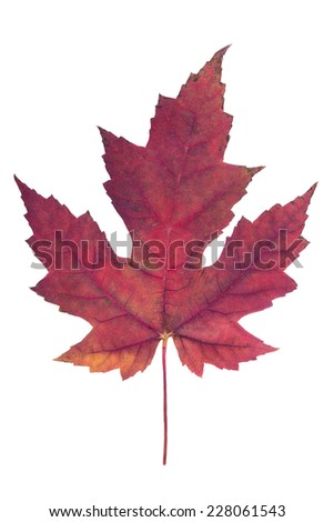 red maple leaf as an autumn symbol as a seasonal themed concept as an icon of the fall weather on an isolated white background. - stock photo