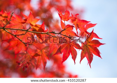 Red maple leaves in early spring against blue sky - stock photo