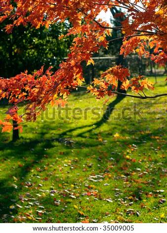 Red maple tree - stock photo