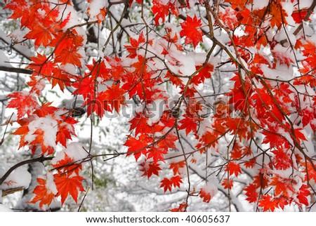 red maple tree under snow - stock photo