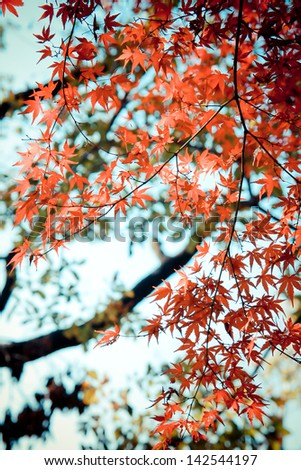 Red maples in autumn at Mt.Takao located nearby Tokyo, Japan - stock photo