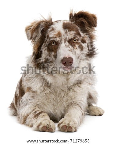 Red Merle Border Collie, 6 months old, lying in front of white background - stock photo