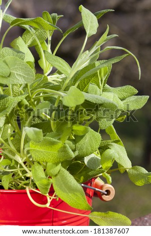 Red metal pot with fresh oregano plant on the balcony - stock photo