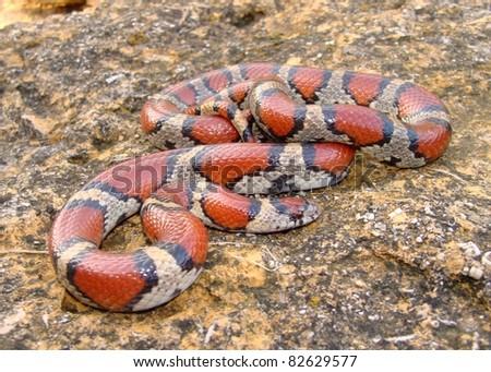 Red Milk Snake, Lampropeltis triangulum syspila - stock photo
