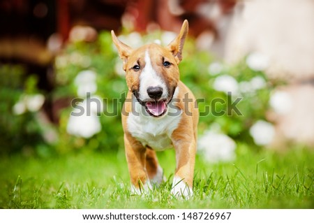 red miniature bull terrier puppy running outdoors - stock photo