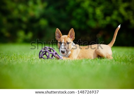 red miniature bull terrier puppy with a toy - stock photo