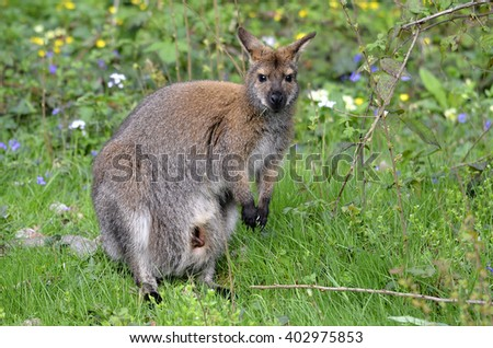 Red-necked wallaby (Macropus rufogriseus) on grass - stock photo