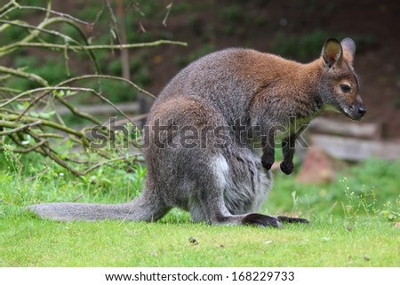 Red-necked wallaby portrait - stock photo