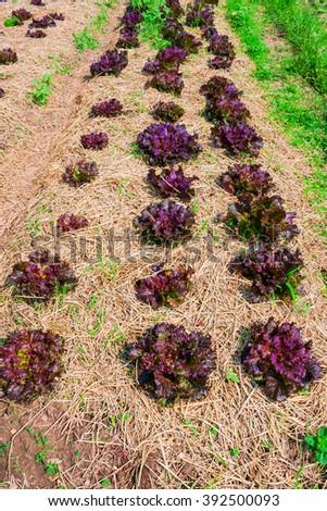 Red oak leaf letucce field - stock photo