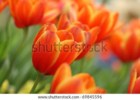 Red Orange Yellow Tulips flower shot from below macro close up with tulip background pattern - stock photo