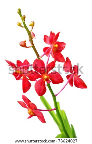 Red orchid isolated on white - stock photo