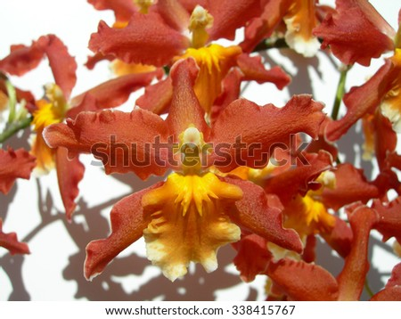 Red orchids with orange center petals as a floral background - stock photo