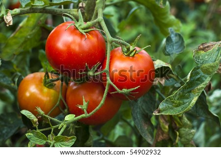 red organic tomato plant and fruit in the morning light - stock photo