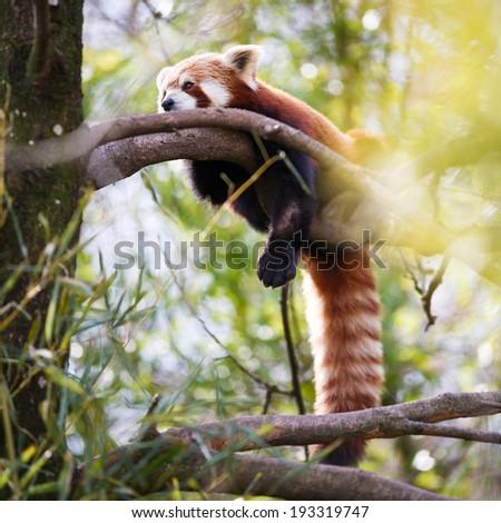 "Red panda (Ailurus fulgens, lit. ""shining cat"") - stock photo"
