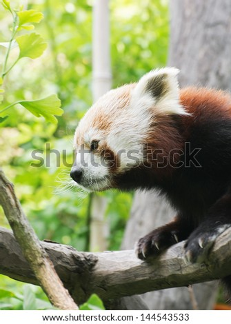 Red panda (Ailurus fulgens) sitting on a tree. - stock photo