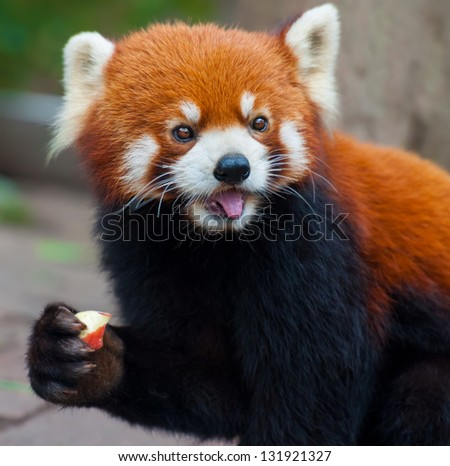 Red panda bear eating apple - stock photo
