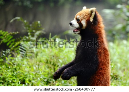 Red panda bear only few standing cute action  - stock photo