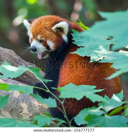 Red panda bear sticking out tongue - stock photo