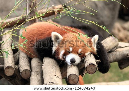 red panda, endangered animal in Hong Kong Ocean Park - stock photo