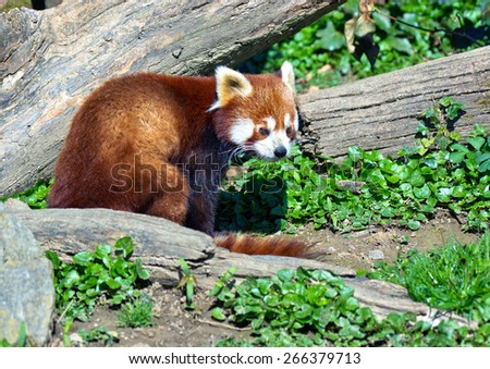 red panda in the forest - stock photo