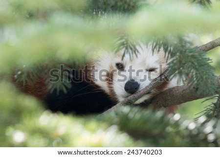 RED PANDA on a tree close up portrait while looking at you  - stock photo