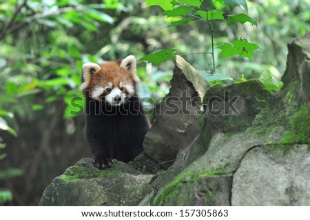 Red Panda on the rock. - stock photo