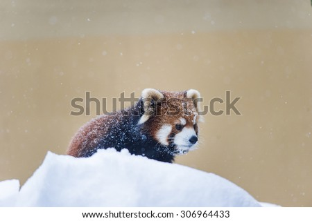 red panda playing on snow - stock photo