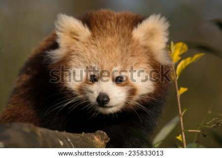 red panda resting - stock photo