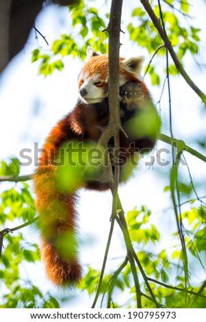 Red Panda sleeping on a branch - stock photo