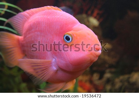 Red Parrot fish swimming in aquaria. - stock photo