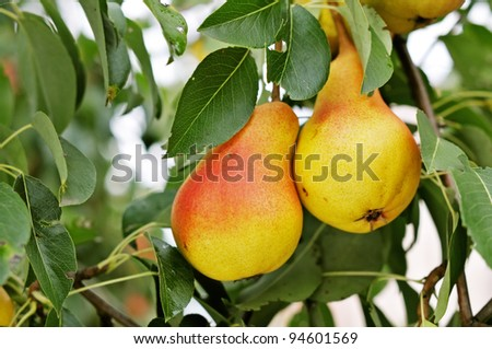 Red Pears on a background of green foliage. - stock photo