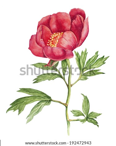 Red Peony flower watercolor - stock photo