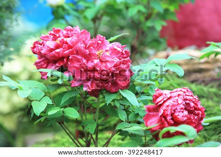 Red Peony flowers,beautiful red peony flowers in full bloom in the garden in spring - stock photo
