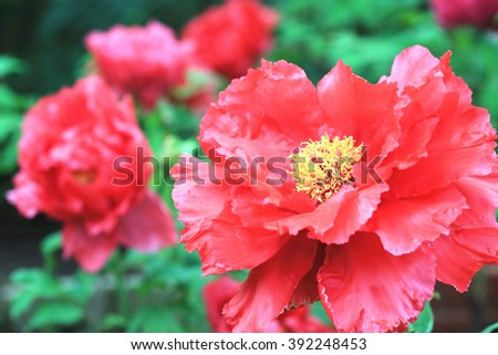 Red Peony flowers,beautiful red peony flowers in full bloom in the garden in spring,closeup - stock photo