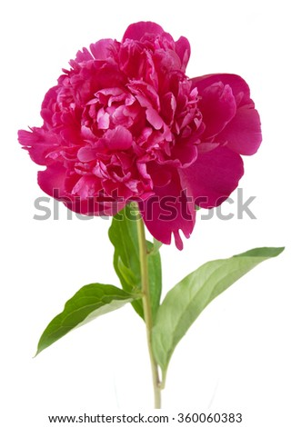 Red peony flowers isolated on white background - stock photo