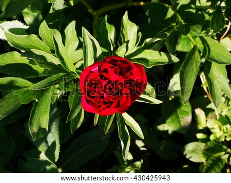 Red Peony in the garden summer season spring bloom bud petals nature flora floristics biology - stock photo