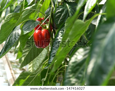 Red peppers growing in a greenhouse - stock photo