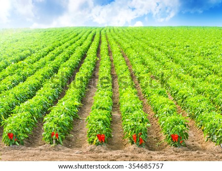 Red Peppers in a field with irrigation system and blue sky - stock photo