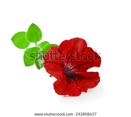 Red petunia flowers isolated on white background  - stock photo