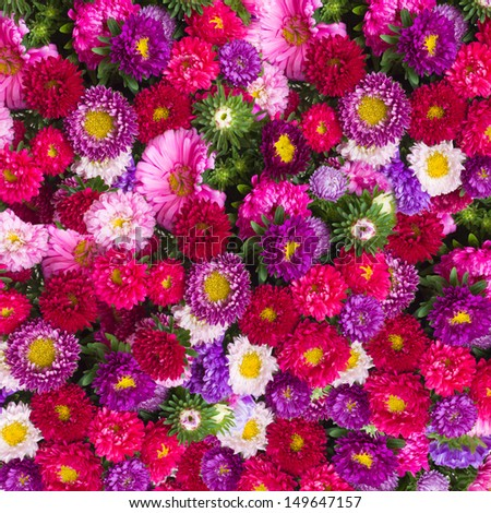red, pink and violet  aster  flowers background - stock photo