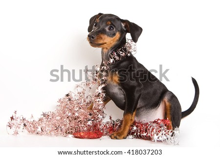 Red Pinscher puppy and New Year (isolated on white) - stock photo