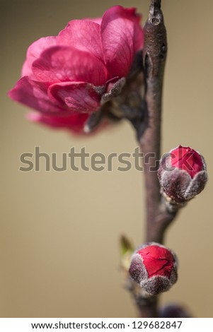 Red plum blossoms by classic beauty style - stock photo