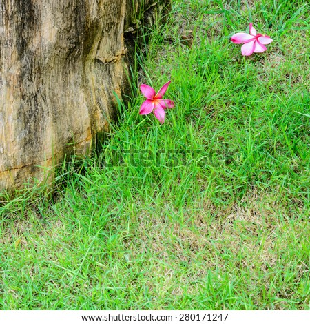 red plumeria flowers bloom in tropical on green grass - stock photo