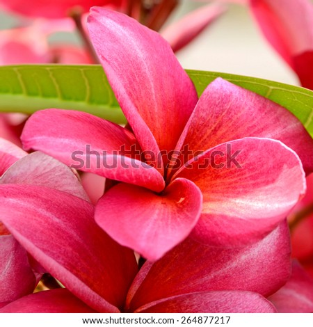 Red Plumeria spp. (frangipani flowers, Frangipani, Pagoda tree or Temple tree) on bright sunlight. - stock photo