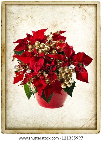 red poinsettia. christmas flower with golden decoration on white background. vintage card concept - stock photo