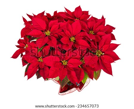 Red poinsettia (Euphorbia pulcherrima), aka Christmas Star, isolated on white background - stock photo