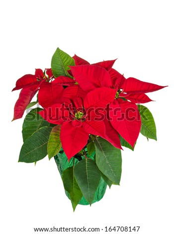 Red poinsettia (Euphorbia pulcherrima) in a flower pot, isolated over white background - stock photo